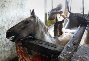 horse-slaughter-mexico